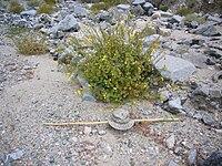 Camissonia cardiophylla.jpg