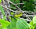 Canada Warbler, Quetico.jpg