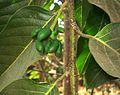 Cananga odorata seeds.JPG