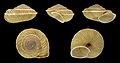 Canariella eutropis 01.JPG