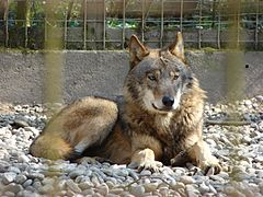 Eastern Wolf - Photo (c) User:Tschaensky, some rights reserved (CC BY-SA)