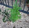 Cannabis ruderalis - 03.jpg