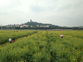 Canola field in Lianhu Park in Qiaotou Town, Dongguan City 16.JPG