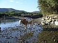 Cap Corse - Barcaggio-cow passing l'Acqua Tignese - panoramio.jpg