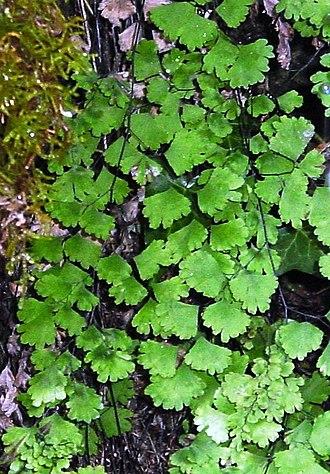 Adiantum capillus-veneris - Adiantum capillus-veneris foliage texture.