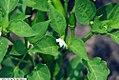 Capsicum annuum Tangerine Dream 1zz.jpg