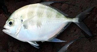 Bumpnose trevally species of fish