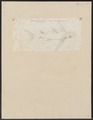 Carcharias glaucus - 1700-1880 - Print - Iconographia Zoologica - Special Collections University of Amsterdam - UBA01 IZ14100029.tif