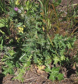 Carduus pycnocephalus - Carduus pycnocephalus plant (California).
