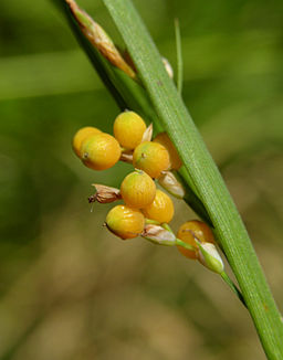 Carex aurea inflorescence at maturity