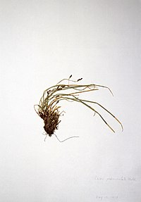 Carex pedunculata ssp. pedunculata BW-1979-0530-0298.jpg