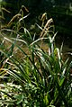 Carex pendula plant (27).jpg