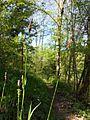 Carex pilosa sl12.jpg
