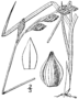 Carex silicea drawing 1.png