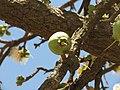 Careya Arborea022.jpg
