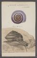 Carocolla albilabris - - Print - Iconographia Zoologica - Special Collections University of Amsterdam - UBAINV0274 089 02 0010.tif