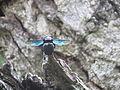 Carpenter bee02.JPG