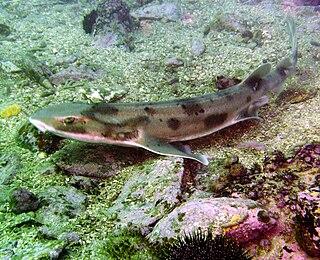 Draughtsboard shark Species of shark