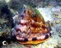 Cassis tuberosa.png