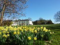 Castlegrove House Daffodills - panoramio.jpg