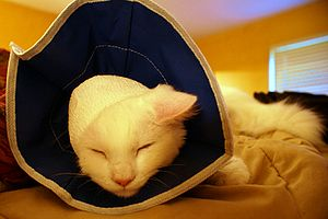 Elizabethan collar - Image: Cat with soft Elizabethan collar