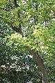 Catalpa speciosa - Severna katalpa (5).jpg