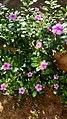 Catharanthus roseus flowers in Kerala 6.jpg