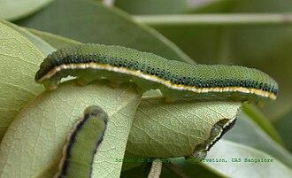 Catopsilia pyranthe - Caterpillar