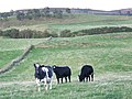 Cattle, Mains of Creuchies - geograph.org.uk - 1540257.jpg