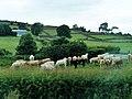 Cattle near Burrenbridge - geograph.org.uk - 1972662.jpg