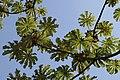 Cecropia obtusifolia 31zz.jpg