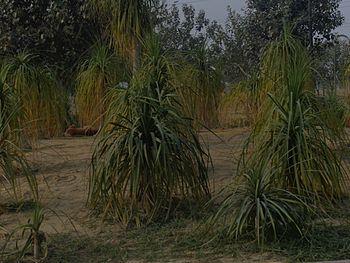 Celadon in crop field.jpg