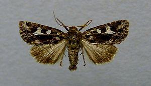 Celaena haworthii - Image: Celaena haworthii