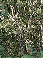 Celtis australis 20140805.jpg