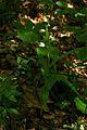 Cephalanthera longifolia PID1265-1.jpg