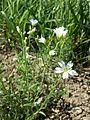 Cerastium arvense subsp. arvense sl2.jpg