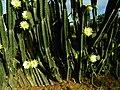 Cereus cactus Aliyar ph 02.jpg