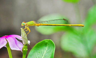 Ceriagrion coromandelianum male 26052014.jpg