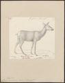 Cervus canadensis - 1818-1842 - Print - Iconographia Zoologica - Special Collections University of Amsterdam - UBA01 IZ21500310.tif
