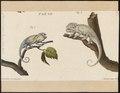Chamaeleo vulgaris - 1700-1880 - Print - Iconographia Zoologica - Special Collections University of Amsterdam - UBA01 IZ12300017.tif