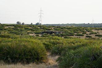 Chamaerops - Large monospecific patch of C. humilis in southwest Spain.