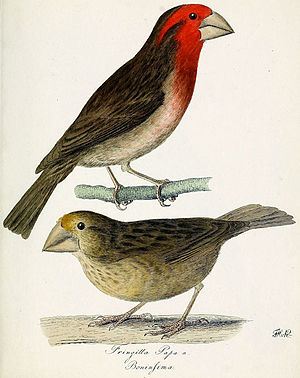 Bonin grosbeak - Bonin grosbeaks by F.H. von Kittlitz, 1828