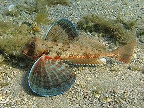 Chelidonichthys lastoviza2.jpg