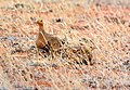 Chestnut-bellied sandgrouse pair.jpg