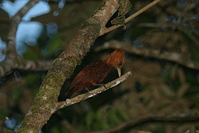 Chestnut-colored Woodpecker (5670688803).jpg