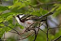 Chestnut-sided Warbler (male) Sabine Woods TX 2018-04-28 07-15-06 (41300169605).jpg