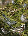 Chestnut sided warbler From The Crossley ID Guide Eastern Birds.jpg