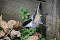 Chickadee (21600455594).jpg