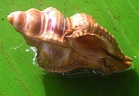 Chicoreus capucinus 001