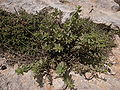 Chiliadenus bocconei Dingli Cliffs Malta 02.jpg